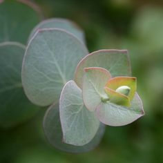 Photo of Florist Silver Dollar (Eucalyptus pulverulenta 'Baby Blue') uploaded by Calif_Sue
