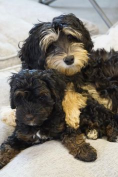 Labradoodles of Montana is dedicated to the breeding and the sale of miniature/medium australian labradoodles. See our website to see what puppies are for sale. Australian Labradoodle, Labradoodles, New Puppy, Montana, Studs, Puppies, Dogs, Black, Asparagus