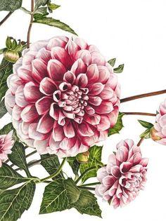 anna mason botanical artist | Anna Mason Art | Dahlia 'Tiptoe' Botanical print from an original ...