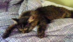 Nap attack sleeping kitten