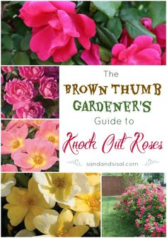knockout rosen If you have a green or brown thumb you will love this Brown Thumb Gardener's Guide to Easy Roses. Knockout Roses are easy to care for and produce blooms! Pruning Knockout Roses, Pruning Roses, Shrub Roses, Simple Rose, Rose Bush, My Secret Garden, Garden Care, Plant Care, Gardens