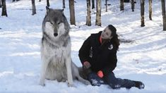 Giant Wolf Plops Down Beside Her, But Watch What Happens When They Make Eye Contact #Animals
