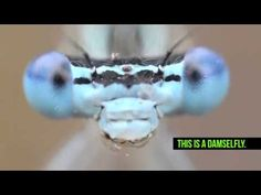 File:Damselfly grooming itself. Digital Text, The Incredibles, Damselflies, Insects, Youtube, Wikimedia Commons, Dragonflies, Dinosaurs, Dragons