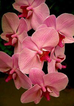 "Orchid.   [""Orquídea (Familia  Phalaenopsis).]"