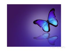 Morpho Blue Butterfly on Dark Blue Background Affiches par suns_luck sur AllPosters.fr