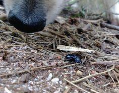 Daily photo journal 158_365_Nosy  Päivän kuva #timpen #dailyphoto #dog