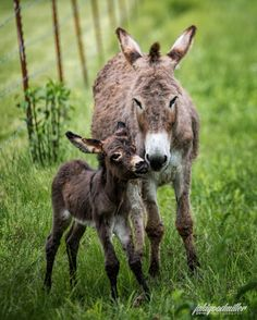 baby donkey with its mother Baby Donkey, Cute Donkey, Mini Donkey, Baby Cows, Baby Elephants, Cute Baby Animals, Farm Animals, Animals And Pets, Wild Animals