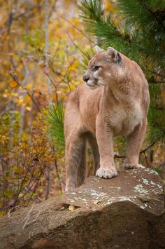 """Nikita"" - Mountain Lion (Puma concolor) stands on rock in autumn - captive animal Holly Kuchera photo taken: Mountain Lion, Big Dogs, Panther, Rock, Cool Stuff, Artwork, Animals, Wicked, Autumn"