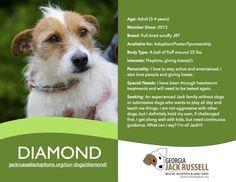 Today's l'il leprechaun rescue is Diamond!  #jackrussell #rescue #adopt