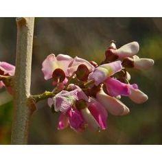 Copiapoa Humilis Tenuissima Seeds