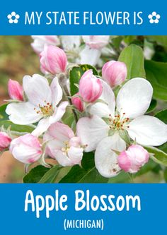 #Michigan's state flower is the Apple Blossom. What's your state flower? pinterest.com/...