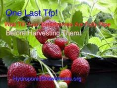 A video about hydroponic strawberries and how to set up your own system.