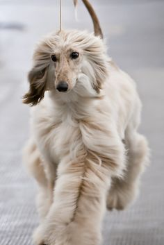I saw one of these dogs on my walk with gene this morning.  So cute.