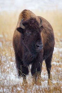Oh give me a home where the buffalo roam; where the deer and the antelope plaaaay:) Where seldom is heard a discouraging word AND the skies are not cloudy all day. Home, Home on the range...