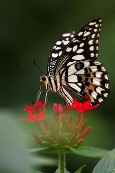 Butterfly #awesome #butterfly #beautiful nature #colour #amazing