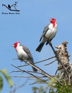 http://1.bp.blogspot.com/-OwMtnWBnoYI/TZ5DRF48ssI/AAAAAAAAAMM/EzqPZrht7Pg/s1600/cardenales2.jpg