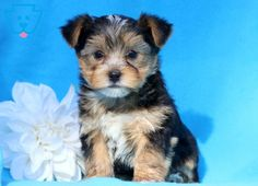 Jojo | Morkie Puppy For Sale | Keystone Puppies  #Morkie #KeystonePuppies