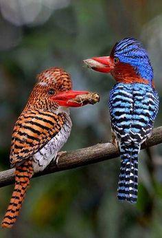 A couple of Banded Kingfishers-Thailand – penso no Criador como um grande figurinista, onde suas mais belas obras autorais são os pássaros
