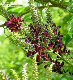 Full size picture of Evergreen Wisteria (Millettia reticulata)