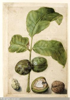Drawings Of Nuts And Leaves