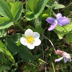 The wild strawberries in my yard are blooming! ❤️ Copyright © 2015 Tofu Fairy's Brain Pile - All Rights Reserved #nature #spring #flower #strawberry #violet #wildflower #weed
