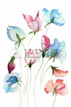 Sweet pea flowers, watercolor illustration  Stock Photo - 14468197