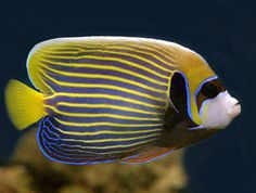 Visit this site for Beautiful photographs and interesting information and facts on Emperor Angelfish. Fast and accurate facts and information about Emperor Angelfish. Great pictures and interesting information about Emperor Angelfish. Sea Fish, Fish Fish, Ocean Depth, Salt Water Fish, Saltwater Tank, Marine Fish, Pet Rocks, Angel Fish, Exotic Fish