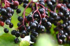 Las bayas de saúco (Sambucus) han sido un remedio popular por siglos alrededor del mundo, por lo tanto, los beneficios medicinales del saúco están siendo...