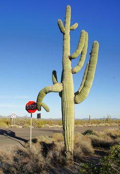 Hey a saguaro cactus makes a wonderful landscape statement. Photo taken in Arizona.