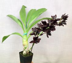 Inter-Generic Orchid-Hybrid: Monnierara Millennium Magic 'Witchcraft' (Catanoches Midnight Gem x Marmodes sinuata) - Flickr - Photo Sharing!