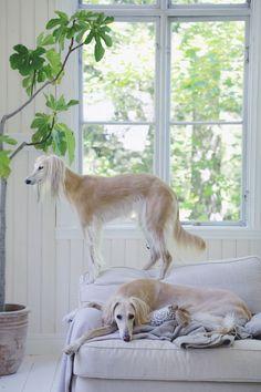 Saluki = Persian greyhound = Royal dog of Egypt = Arabian Windhound = Gazehound = Gazelle Hound = Saluq = Salag = el Hurr (the noble) = Tazi and .......