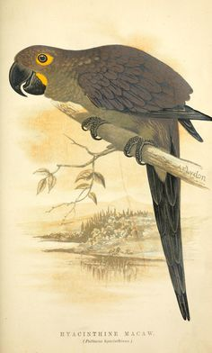 Psittacus hyacinthinus. The speaking parrots London,L.U. Gill[1884] Biodiversitylibrary. Biodivlibrary. BHL. Biodiversity Heritage Library