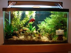A betta in his kingdom!  Clean water, warm, live plants, and lots of space to swim!