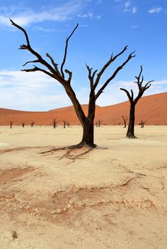 Here's one more shot of the camel-thorn trees at Dead Vlei, in the otherworldly Sossusvlei area of Namibia.