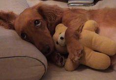 dachshund - Google Search