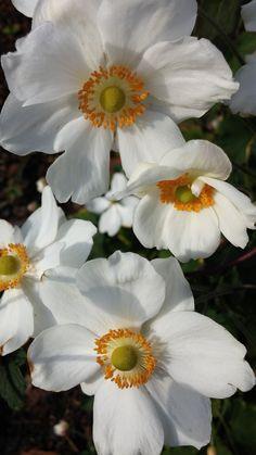 White japanese anemones. Maybe  'Honorine Jobert'.