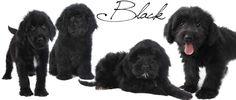 black goldendoodles English Teddy Bear Goldendoodles from Smeraglia.