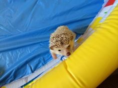 Great toy ideas for your hedgehog
