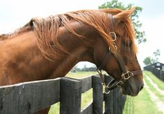 Equine science is the study of animal behavior and biology. Equine science is the study of animal science which involves the study of reproduction, physiology, behavior, health, and n… Andalusian Horse, Thoroughbred Horse, Horse Portrait, Portrait Art, Especie Animal, Chestnut Horse, Pets 3, Horse Breeds, Horse Photography