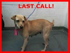 RESCUED❤️LAST CALL! LAST CALL! LAST CALL! TEDDY BEAR (A1667386) I am a female tan Labrador Retriever mix. The shelter staff think I am about 7 years old. I was found as a stray and I may be available for adoption on 12/24/2014. Miami Dade https://www.facebook.com/urgentdogsofmiami/photos/pb.191859757515102.-2207520000.1420055502./900080526693018/?type=3&theater