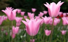 Looking for a new tulip to brighten up your garden? Try these beautiful   perennials