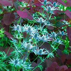 Beautiful texture and great color contrast! Sea holly (Eryngium amethystinum) and Purple smoke bush