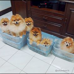 Baskets of pomeranians!