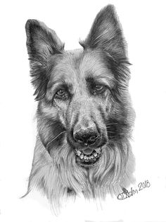 dog pencil portrait alsation