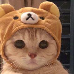 リラックマな猫がとても可愛い   netgeek Cute Baby Cats, Cute Little Animals, Cute Cats And Kittens, Cute Funny Animals, Kittens Cutest, Cute Dogs, I Love Cats, Ragdoll Kittens, Tabby Cats