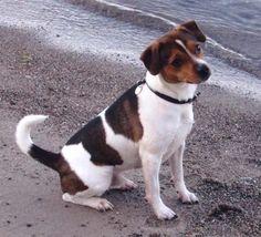 Danish-Swedish Farmdog - Dansk/Svensk Gårdhund // Purka's Milo