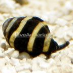 The tiny Bumble Bee Snail benefits most marine reef aquariums in big ways