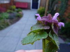 Dit is de paarse dovenetel.