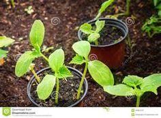 Pesquisa Como cultivar plantas sadias. Vistas 8115.