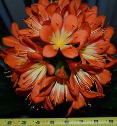Clivia Seeds  4-Orange + (1Yellow) 君子兰 Planting Seeds, Bulb, Orange, Board, Plants, Ebay, Onions, Seed Starting, Plant